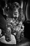 English Cocker Spaniel blue roan in black and white Royalty Free Stock Photo