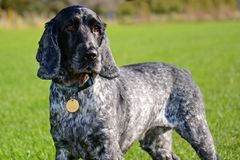 English Cocker Spaniel. A blue roan English Cocker Spaniel on a grassy background royalty free stock images