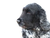 English Cocker Spaniel blue roan Royalty Free Stock Photography