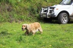 English Cocker Spaniel came to hunt. Altai Royalty Free Stock Photo