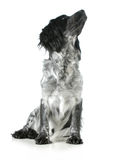 English cocker spaniel cross looking up Royalty Free Stock Photos