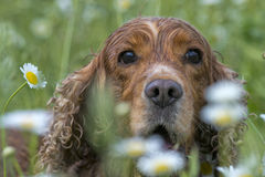 English cocker spaniel on daisy background. While looking at you stock photography