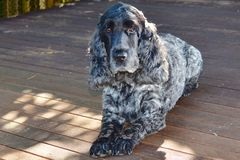 English Cocker Spaniel on the deck Royalty Free Stock Photos