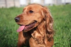 English Cocker Spaniel dog. At the garden Royalty Free Stock Photos