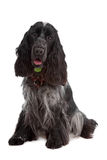 English Cocker Spaniel dog Stock Photos