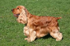 English Cocker Spaniel dog Royalty Free Stock Photos