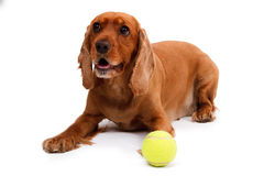 English Cocker Spaniel Dog and Ball Royalty Free Stock Photography