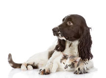 English Cocker Spaniel dog and cat lie together. Looking away. i Royalty Free Stock Photo