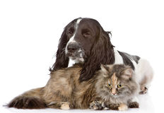 English Cocker Spaniel dog and cat Royalty Free Stock Photography