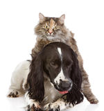 English Cocker Spaniel dog and cat. Looking at camera. isolated stock images