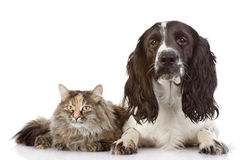 English Cocker Spaniel dog and cat together. Isolated on white b Royalty Free Stock Photography