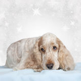 English cocker spaniel dog on christmas Royalty Free Stock Photos