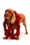 English Cocker Spaniel Dog and Christmas Ornament Royalty Free Stock Photo
