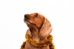 English Cocker Spaniel Dog and Christmas Ornament. English cocker spaniel dog surrounded by yellow Christmas ornament, isolated on white background Stock Photo