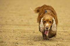 English cocker spaniel dog coming to you Royalty Free Stock Photo