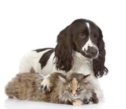 English Cocker Spaniel dog embraces a cat. Royalty Free Stock Photos