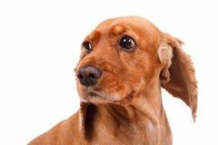 English Cocker Spaniel Dog Head Stock Photo