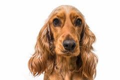 English cocker spaniel dog isolated on white. Background stock photos