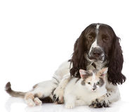 English Cocker Spaniel dog and kitten together Stock Photography