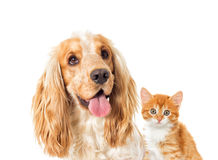 English cocker spaniel dog and kitten Royalty Free Stock Images