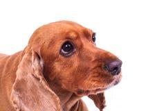 English Cocker Spaniel Dog Looking Sadly Royalty Free Stock Image