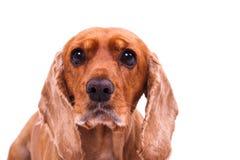 English Cocker Spaniel Dog Looking Sadly Stock Image