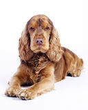 English cocker spaniel dog lying down, 1 year old. Cocker Spaniel male dog, 1 year old, brown colored lying down and looking cute straight into the camera, image stock photography