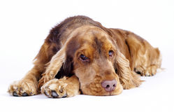 English cocker spaniel dog lying down, 1 year old Royalty Free Stock Photography