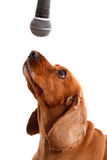 English Cocker Spaniel Dog and Microphone Stock Images