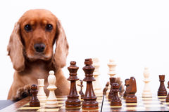 English Cocker Spaniel Dog Playing Chess Royalty Free Stock Photo