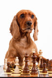 English Cocker Spaniel Dog Playing Chess Stock Images