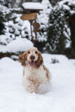 English cocker spaniel dog playing in fresh snow Royalty Free Stock Images