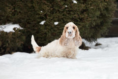English cocker spaniel dog playing in fresh snow Royalty Free Stock Photography