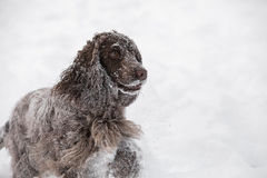 English cocker spaniel dog playing in snow winter Stock Photography