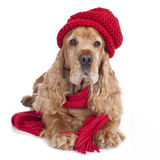 English cocker spaniel dog with red scarf Stock Photos