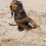 English cocker spaniel dog Stock Image