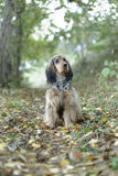 English cocker spaniel dog Royalty Free Stock Images