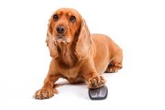 Free English Cocker Spaniel Dog Using Computer Mouse Royalty Free Stock Image - 32916156