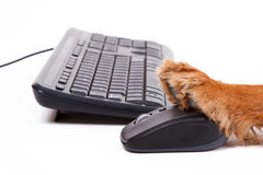 English Cocker Spaniel Dog Using Mouse and Keyboard Royalty Free Stock Photo