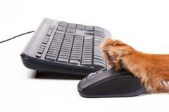 English Cocker Spaniel Dog Using Mouse and Keyboard Royalty Free Stock Photo