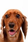 English Cocker Spaniel Dog Waiting Command Stock Image