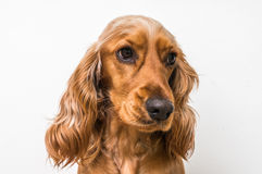 English cocker spaniel dog on white royalty free stock images
