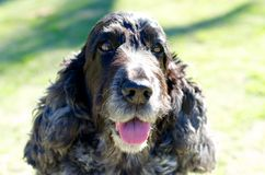 An English Cocker Spaniel Royalty Free Stock Images