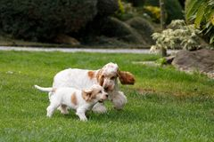 Purebred English Cocker Spaniel with puppy Royalty Free Stock Images