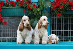 Purebred English Cocker Spaniel with puppy Stock Images