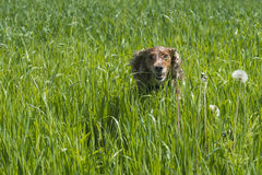 English cocker spaniel on the grass background. Running to you royalty free stock photo
