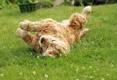 English Cocker Spaniel on green grass Royalty Free Stock Photos