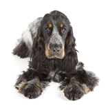 English cocker spaniel Stock Photos