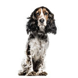 English Cocker Spaniel isolated on white Royalty Free Stock Photos