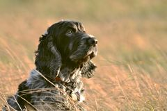 English Cocker Spaniel in the long grass royalty free stock photos
